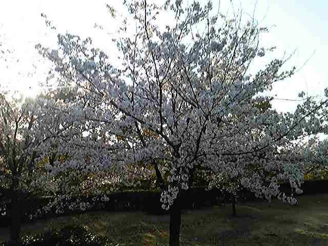 サクラ〜桜〜